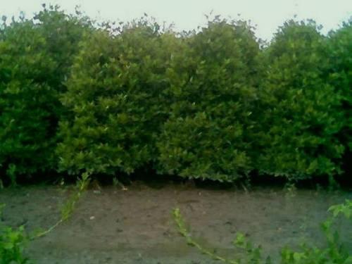 mangrove-4-years-old