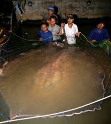 ikan-terbesar